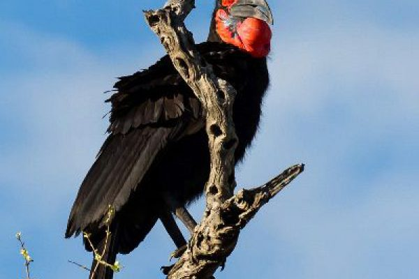 news-70-806-ground-hornbill