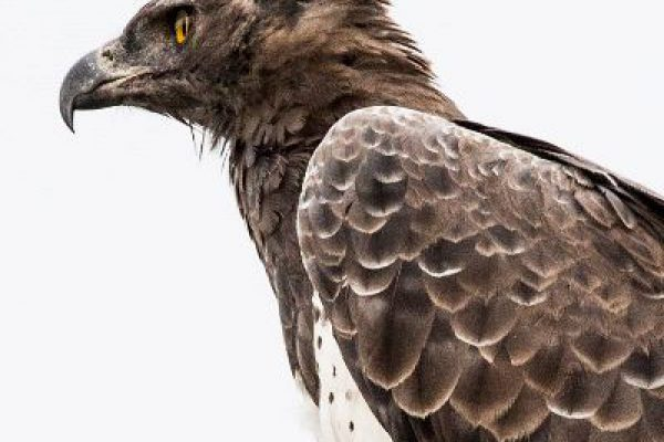 news-70-808-martial-eagle
